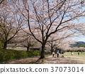푸른, 사쿠라, 벚나무무 37073014