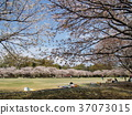 푸른, 사쿠라, 벚나무무 37073015