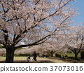 푸른, 사쿠라, 벚나무무 37073016