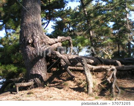 南欧黑松 长青树 绿色 37073205