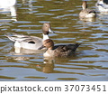 紅嘴鷗 白色 野生鳥類 37073451