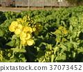 油菜花 花椰菜和芥藍的雜交品種 強奸的花朵 37073452