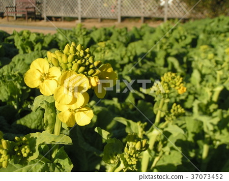 rape blossoms, broccolini, bloom 37073452