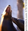 seal, sealion, California sea lion 37074399