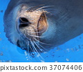 seal, harbor seal, lifting 37074406