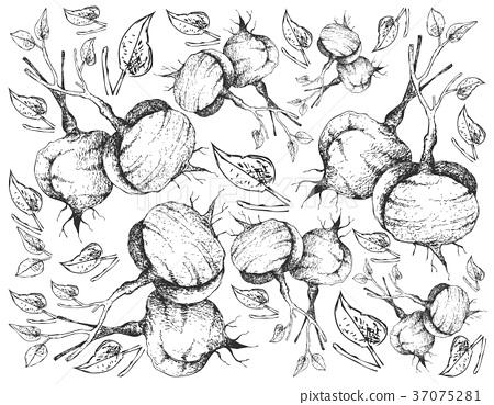 Hand Drawn of Fresh Jicama on White Background 37075281