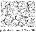 Hand Drawn of Pignut Plant on White Background 37075284