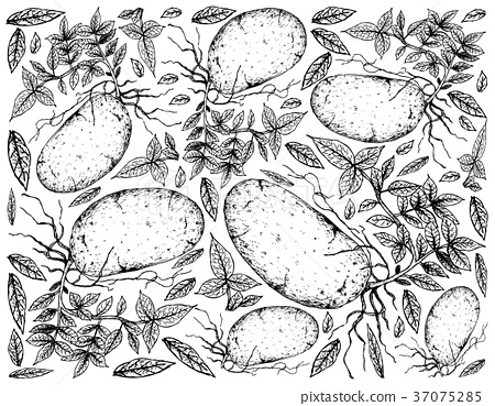 Hand Drawn of Fresh Potatoes on A White Background 37075285