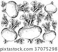 Hand Drawn of Purple Turnip on White Background 37075298
