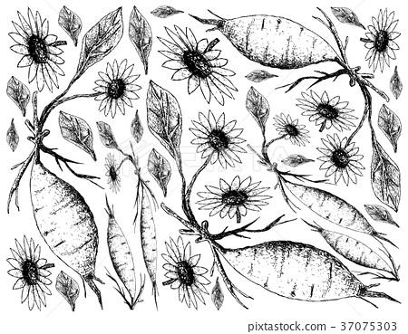 Hand Drawn of Fresh Yacon on White Background 37075303