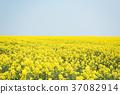 油菜花 油菜 春天 37082914