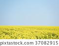 油菜花和蓝天(背景材料)的一面 37082915