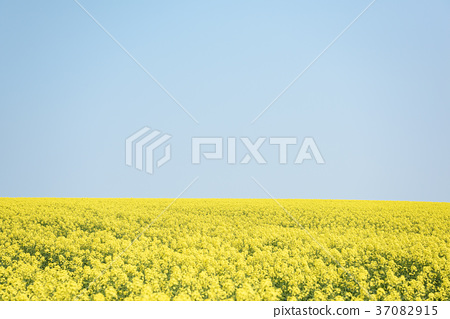 One side of rape blossoms and blue sky (background material) 37082915