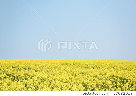 油菜花和藍天(背景材料)的一面 37082915