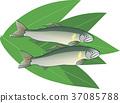 ayu, freshwater fish, sweetfish 37085788