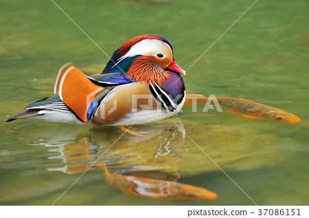 원앙, 호수, 물, 물새, 다채로운, 색채, 깃털, 豔麗, 鸂鶒 37086151