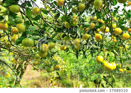 橘子,果園,果樹,水果,果實,新鮮,農業,農作物,農產品 37089310