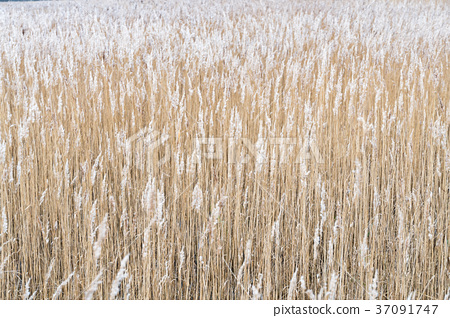 Dry reeds background 37091747