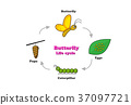Butterfly life cycle in colorful style, vector 37097721