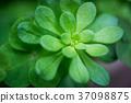 Succulent plant 37098875