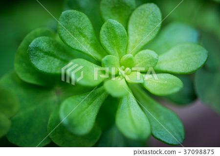 多肉植物,succulent plant 37098875