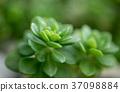 Succulent plant 37098884