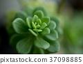 Succulent plant 37098885