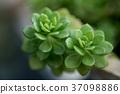 Succulent plant 37098886
