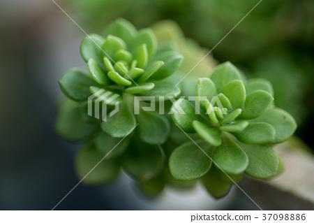 多肉植物,succulent plant 37098886
