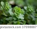 Succulent plant 37098887