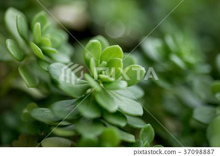 多肉植物,succulent plant 37098887
