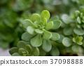 Succulent plant 37098888