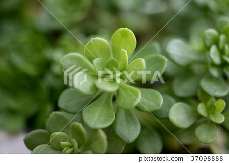多肉植物,succulent plant 37098888