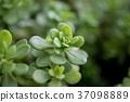 Succulent plant 37098889