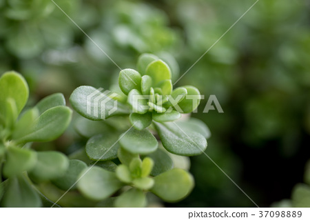 多肉植物,succulent plant 37098889