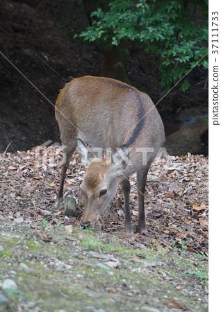 鹿 動物   37111733