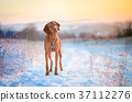 Hungarian hound dog on snow in winter time 37112276