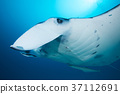 魟魚 蝠鱝 海底的 37112691