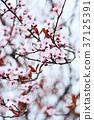 spring blossoms 37125391