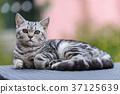Silver Scottish Straight Cat 37125639