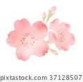 Cherry blossom flower watercolor illustration 37128507