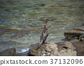 cormorant, cormorants, bird 37132096