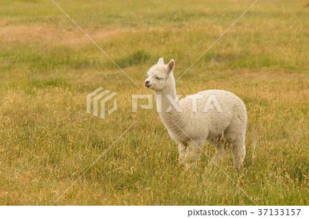 Fram animal white baby alpaca 37133157