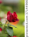 rose, flower, flowers 37144966