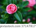 少女玫瑰花绽放 37147817