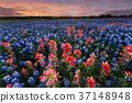 Wild flower Bluebonnet in Texas 37148948