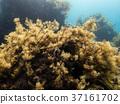 Brown algae bush in the Mediterranean sea 37161702