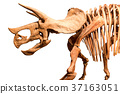 Skeleton of Triceratops . isolate background 37163051