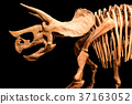 Skeleton of Triceratops . isolate background 37163052