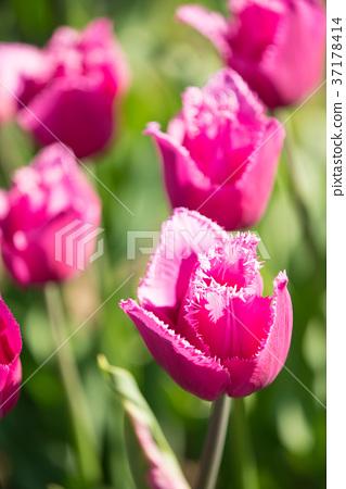 鬱金香 花朵 花 37178414
